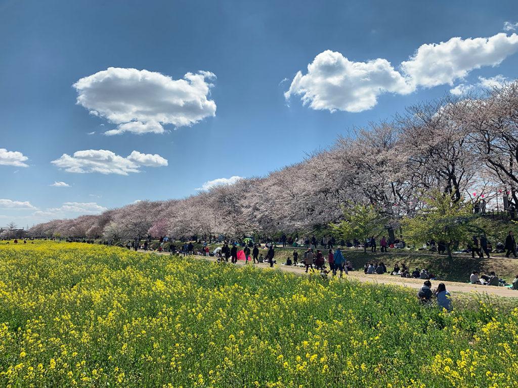 cherry-blossoms-in-saitama